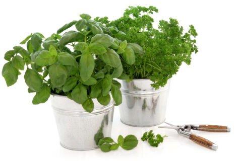 How-to-Prune-Herbs