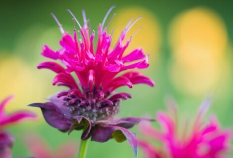 Bee-Balm-Plant