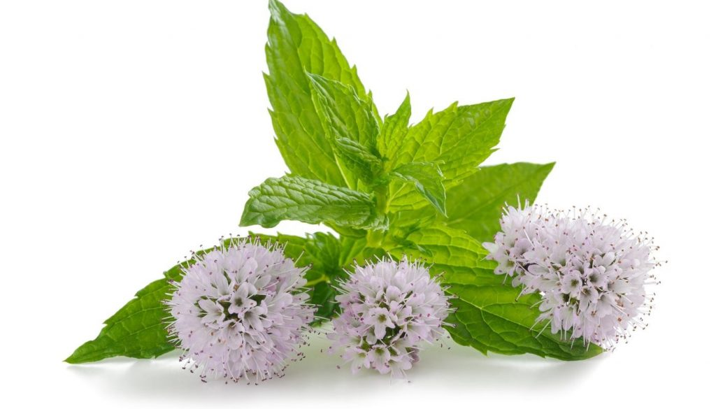 purple-mint-flowers